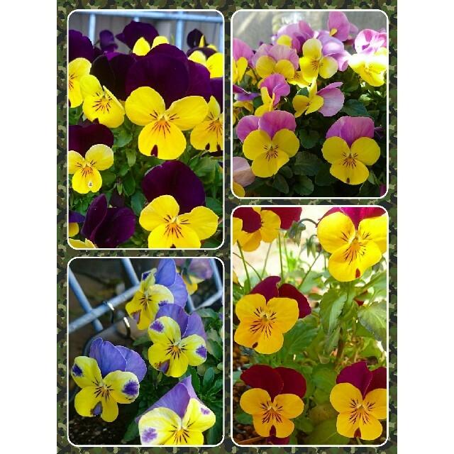 ビオラ ミックス 種 ハンドメイドのフラワー/ガーデン(プランター)の商品写真