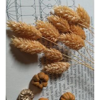 ファラリス オレンジラメ 10本(ドライフラワー)