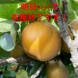 茨城県産 梨 新高 5キロ 秀品(フルーツ)