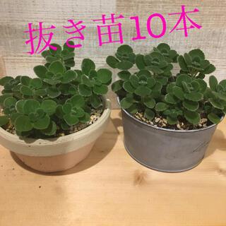多肉植物 アロマティカス 抜き苗10本(その他)