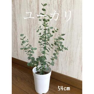 観葉植物 ユーカリ 苗 (プランター)