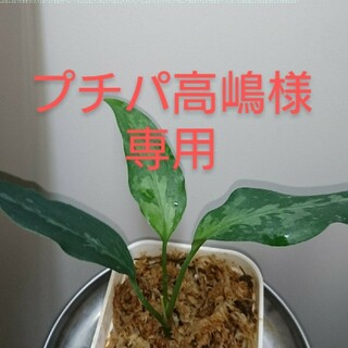 アグラオネマ ピクタム アチェ スマトラ TZ便増殖株(プランター)