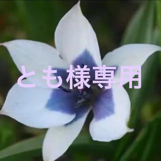 原種系レアチューリップ アルバ•コエルレア•オクラータ 2球(その他)