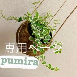 観葉植物 プミラ 苗(プランター)