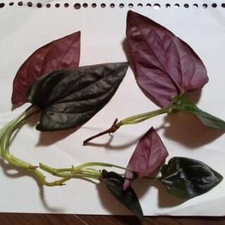 シンゴニウムチョコレート 3苗(プランター)