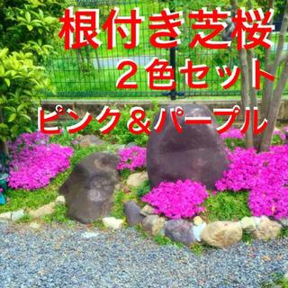 ☆来春増えて咲く‼️芝桜☆2色セット❣️根付き苗☆初心者向け☆(プランター)