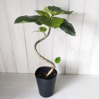 ①フィカスウンベラータ曲がり‼️樹形綺麗◎‼️人気観葉植物❗️(プランター)