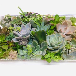 D 多肉植物 Lサイズパックに山盛り盛り 増える カット苗 寄せ植え 初心者向(その他)