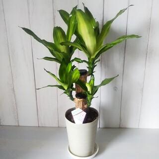幸福の木❗️観葉植物マッサンゲアナ‼️縁起物❗️5号鉢❗️受け皿プレゼント(プランター)