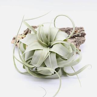 キセログラフィカ ロングリーフ④/エアプランツ/エアープランツ/観葉植物(プランター)
