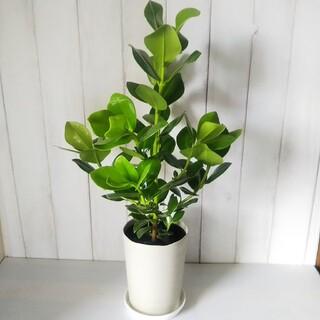 希少種レア‼️①クルーシア‼️肉厚の葉っぱ観葉植物❗️受皿プレゼント!(プランター)