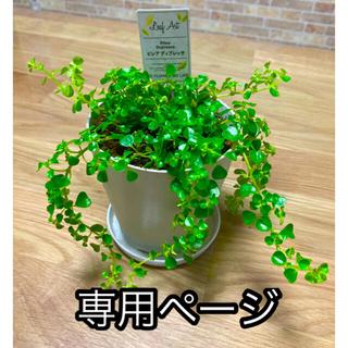 観葉植物 ピレアディプレッサ 苗(プランター)