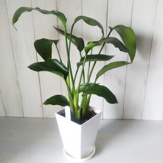 ①ストレチア*レギネ❗️3株植❗️丈夫で育てやすい観葉植物❗️5号!受皿付❗️(プランター)