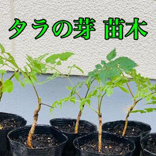 タラの芽  トゲ有り  苗  苗木  6ポットセット(プランター)