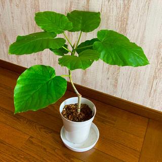 観葉植物 フェカス ウンベラータ 苗 鉢付きそのまま飾れます