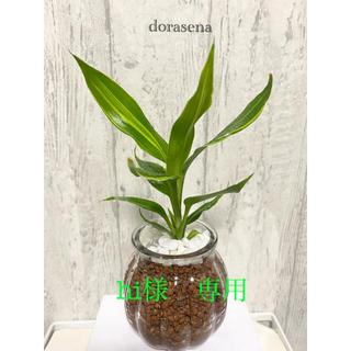 ドラセナ 観葉植物 ハイドロカルチャー(ドライフラワー)