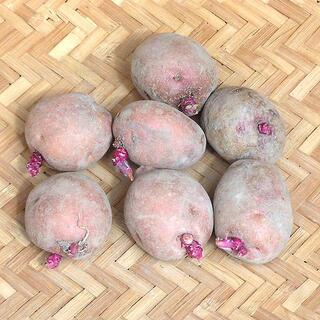 【現物】じゃがいも アンデスレッドの種芋 (土付 秋ジャガイモ用) 7個 35(その他)
