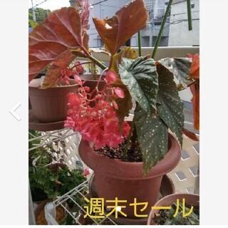 花苗(木立ベゴニアの苗)大きな苗