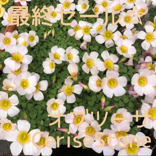 ☆残わずか☆値下げ☆オキザリス オブツーサ CeriseStone 球根 8個(プランター)