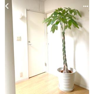 観葉植物 パキラ 188センチ‼︎(その他)