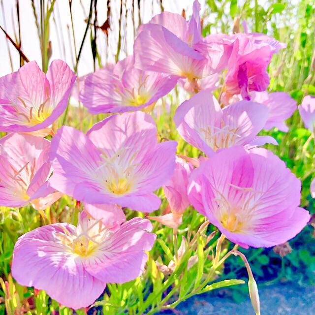 【丈夫で毎年咲く!】昼咲き月見草☆ツキミソウ 種 300粒以上! ハンドメイドのフラワー/ガーデン(プランター)の商品写真