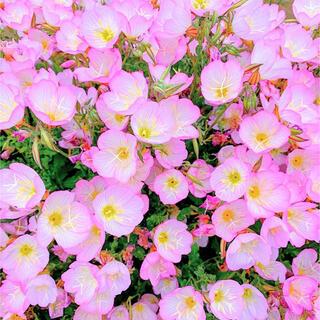 【丈夫で毎年咲く!】昼咲き月見草☆ツキミソウ 種 300粒以上!(プランター)