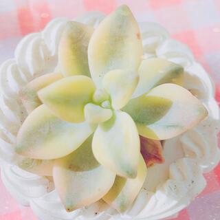 多肉植物 ティテュバンス錦 10苗(その他)