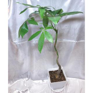 パキラ クラブラ 大きいサイズ 観葉植物(プランター)