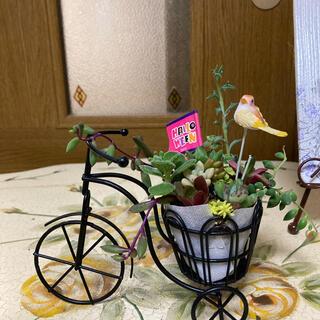 多肉植物🌸自転車カゴの寄せ植え🌸 おまけの苗