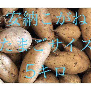 さつまいも 安納芋 こがね たまごサイズ5キロ(野菜)