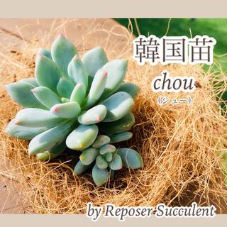 ルポゼ 多肉植物 超希少品種 韓国苗 シュー 現品(その他)