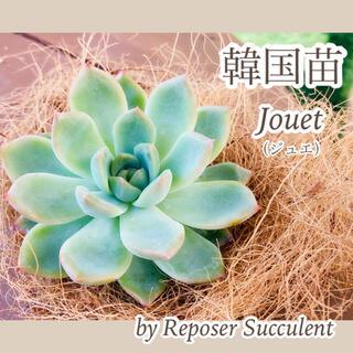 ルポゼ 多肉植物 超希少品種 韓国苗 ジュエル 現品(その他)