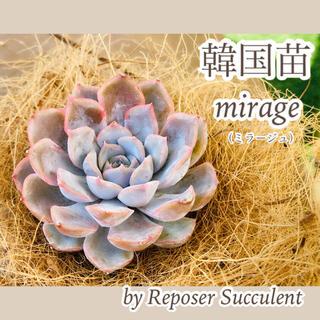 ルポゼ 多肉植物 超希少品種 韓国苗 ミラージュ 現品(その他)
