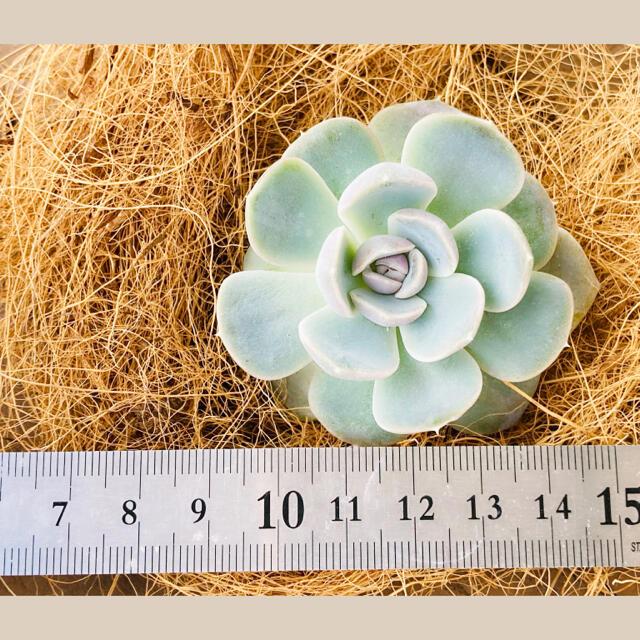 ルポゼ 多肉植物 超希少品種 アスピラスィオン 現品 ハンドメイドのフラワー/ガーデン(その他)の商品写真