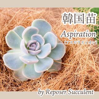 ルポゼ 多肉植物 超希少品種 アスピラスィオン 現品(その他)