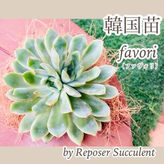 ルポゼ 多肉植物 超希少品種 韓国苗 ファヴォリ 現品(その他)
