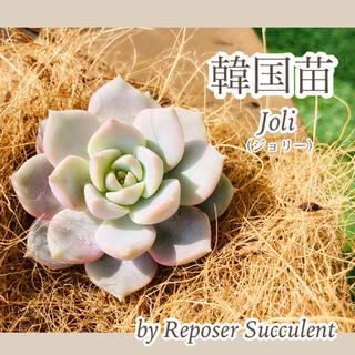 ルポゼ 多肉植物 超希少品種 韓国苗 ジョリー 現品(その他)