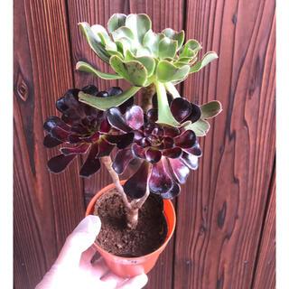 多肉植物 アエオニウム 黒法師2色枝 ④ 抜き苗