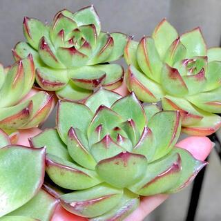 多肉植物 韓国苗 ムーンストーン 紅葉美苗