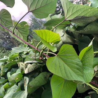 さつまいもの茎と葉(野菜)