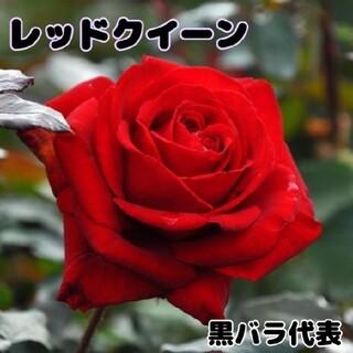 薔薇★レッドクイーン★挿し木苗★薔薇苗★四季咲き★バラ★黒バラ(プランター)