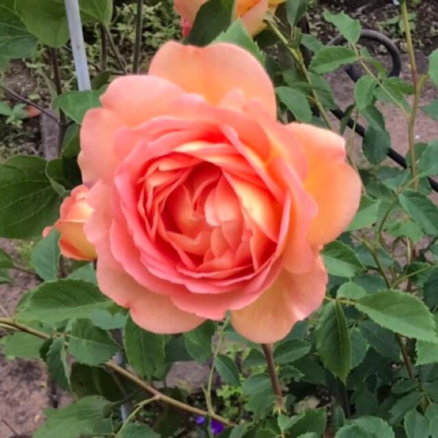 バラ苗 ハンドメイドのフラワー/ガーデン(プランター)の商品写真
