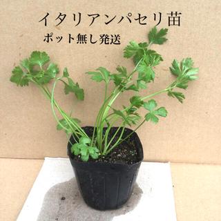イタリアンパセリ苗   ポット無し発送 (野菜)