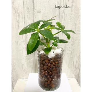 カポック 観葉植物 ハイドロカルチャー(ドライフラワー)