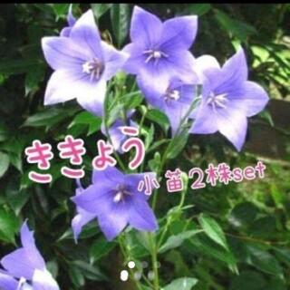 タイムセール 桔梗 2株set(プランター)