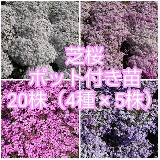 芝桜 ポット付き苗 20株(4種 × 5株)(その他)