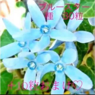 ブルースター 種 40粒(その他)