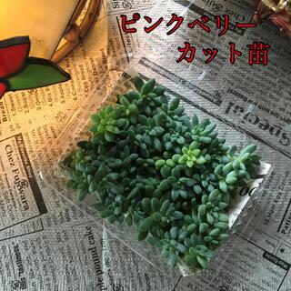 多肉植物  ピンクベリー カット苗(その他)