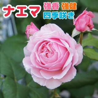 ナエマ★ソフトピンク★ピンク★強健★四季咲き★薔薇苗★バラ★挿し木苗★薔薇(その他)