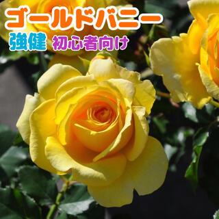 ゴールドバニー★黄色★イエロー★強健★四季咲き★薔薇苗★バラ★挿し木苗★薔薇(その他)